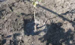 Как правильно посадить грушу осенью: выбор сроков, подготовительные работы, руководство по посадке саженцев
