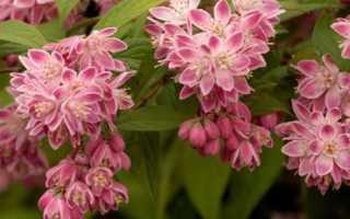 Дейция розовая: характеристика растения и особенности выращивания