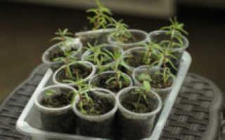 Как сажать семена портулака