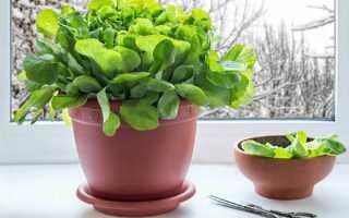 Выращивание шпината на подоконнике круглый год