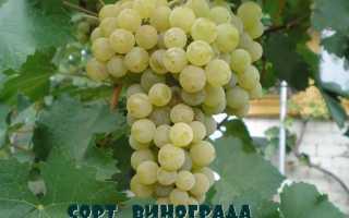 Виноград Цитронный Магарача: описание технического сорта, основные преимущества