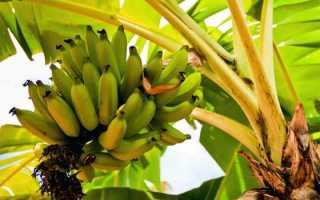Как вырастить банановое дерево в домашних условиях