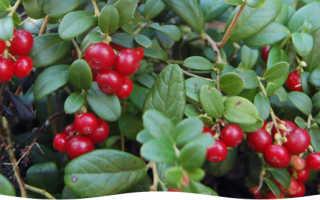 Брусника садовая – посадка и уход