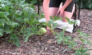 Как прищипывать и формировать тыкву в открытом грунте, видео