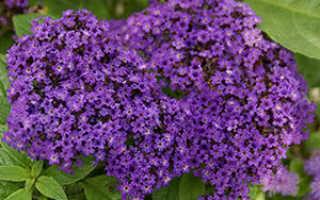 Гелиотроп — выращивание цветка и уход за ним