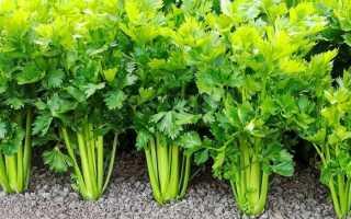 Как вырастить сельдерей листовой, черешковый и корневой из семян на рассаду для открытого грунта на даче и обеспечить уход за ним в домашних условиях и на огороде?
