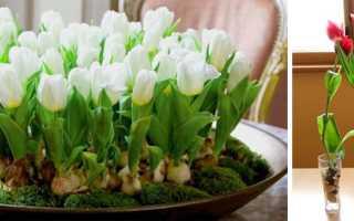 Как вырастить тюльпаны к рождеству