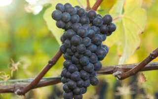 Виноград Черный жемчуг описание сорта характеристика и выращивание