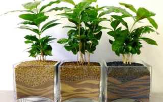 Как посадить и вырастить кофейное дерево в домашних условиях
