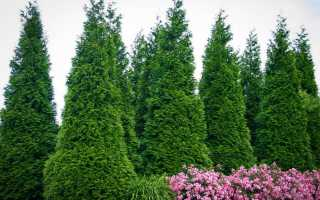 Дерево туя – посадка и уход: пересадка, размножение туи и подкормка на зиму