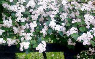 Декоративный кустарник боярышник: фото и описание видов, выращивание из семян, лечебные свойства боярышника