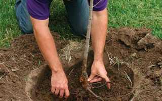 Как посадить яблоню весной — пошаговая инструкция