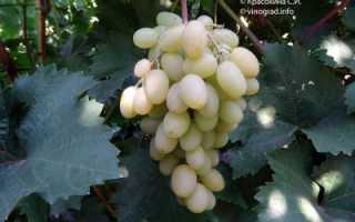 """Виноград """"Гарольд"""": описание сорта, фото, характеристики, вредители"""