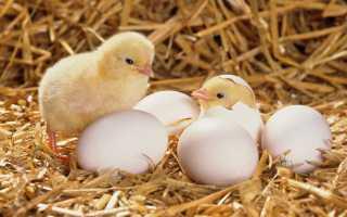 Вырастить цыплят за один сезон