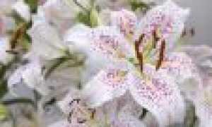 Домашние лилии в горшке: выращивание и уход в домашних условиях. Когда и как сажать луковицу лилии весной в горшок, как поливать, чем подкормить, как пересаживать?