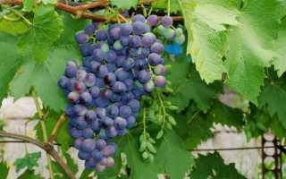 Как сажать сибирский виноград