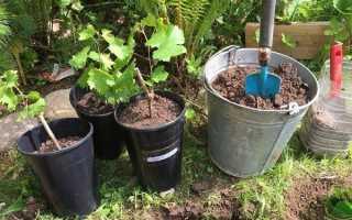 Как и когда сажать саженцы винограда весной