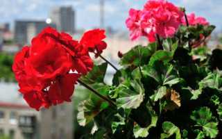 Герань – вредители и болезни, способы и средства борьбы, профилактические мероприятия