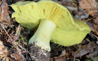 Гриб зеленушка: +16 фото и описание, как солить, съедобный или ядовитый?