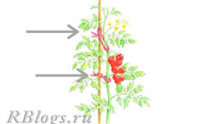 Как сажать высокорослые помидоры в открытом грунте