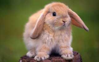 Как определить пол кролика: различия самки и самца