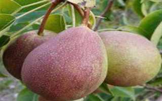 Груша Сварог: описание сорта, характеристика плодов, способы защиты от грушевой плодожорки, отзывы, рекомендации по культивированию