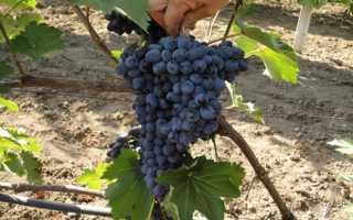 Виноград Чарли описание сорта, особенности сортовой лозы, плоды, плюсы и минусы