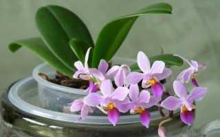 Как в домашних условиях вырастить орхидею семенами