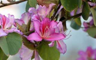 Баухиния орхидейное дерево как вырастить из семян