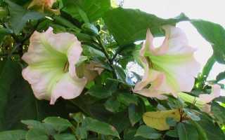 Дурман обыкновенный: фото, условия выращивания, уход и размножение