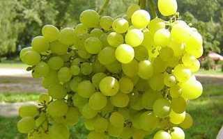 Возможно на Урале вырастить виноград