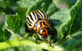 Как избавиться от колорадских жуков: простое приспособление своими руками, инструкция+схема