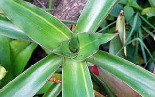 Золотой ус: выращивание в домашних условиях, уход и размножение