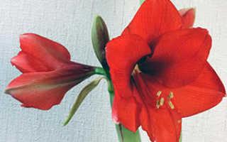 Амариллис: виды, посадка и уход за цветком в домашних условиях, выращивание и пересадка