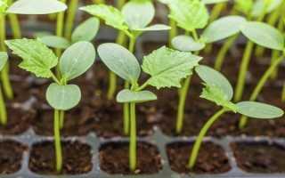 Как правильно и где лучше сажать огурцы семенами?