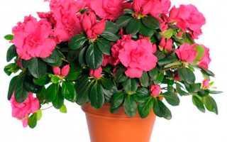Как правильно выращивать цветы азалия в домашних условиях?
