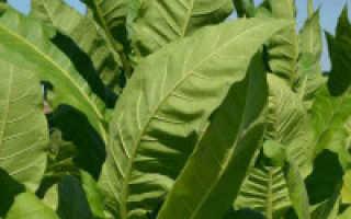 Как правильно вырастить табак дома