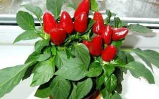 Как вырастить болгарский перец в домашних условиях: посадка и уход