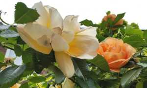 Как обрезать розы до и после цветения: схемы и рекомендации