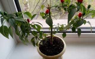 Выращиваем перец чили в домашних условиях