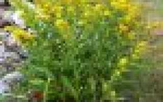 Золотая розга (золотарник обыкновенный): лечебные свойства, противопоказания травы, польза, вред золотушника, применение