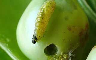 Вредители гороха и меры борьбы с ними: чем обработать от болезней и червей