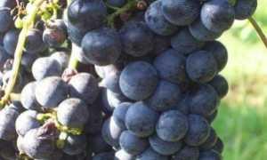 Виноград Мерло: что нужно знать о нем, описание сорта, отзывы