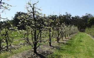 Груша Вильямс: отзывы садоводов, ТОП правила посадки, описание, фото
