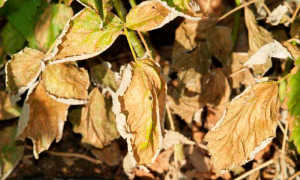 Болезни малины: признаки и способы борьбы
