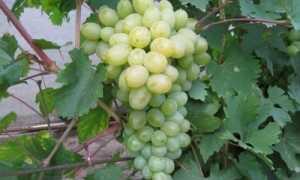 Выращивание, профилактика и лечение винограда сорта «Богатяновский», фото, видео