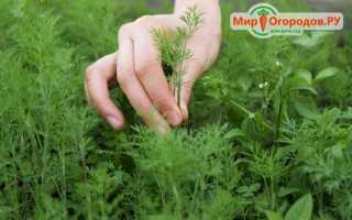 Как выращивать укроп для зелени