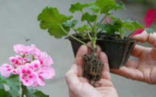 Как рассадить герань в домашних условиях: зачем проводить процедуру, как правильно получить новые цветы с помощью укоренения черенков в воде и почве?