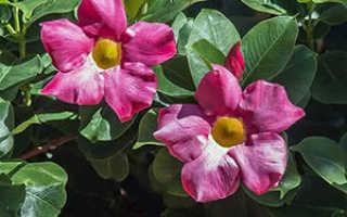 Дипладения: описание цветка, выращивание дипладении, основной уход