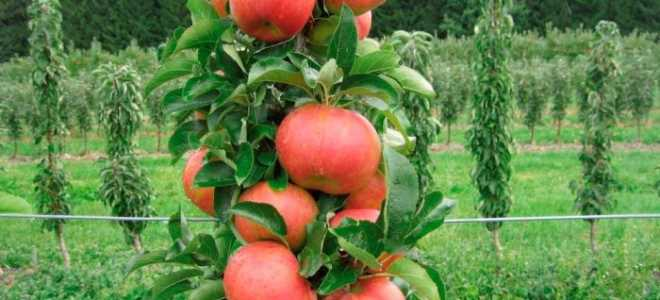 Как вырастить колоновидные яблони и груши – от посадки до ухода